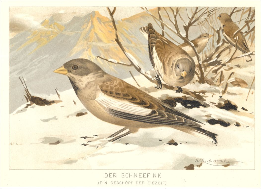 1893 fink schneefink vogel chromolithographie sch n ebay. Black Bedroom Furniture Sets. Home Design Ideas